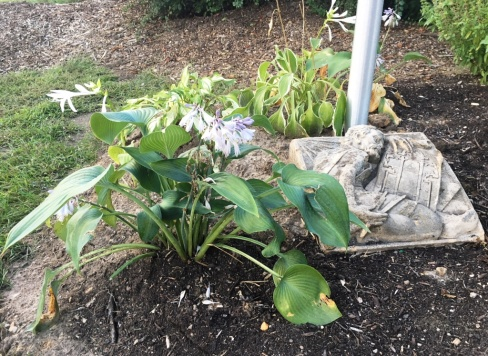hostas around flagpole