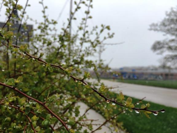 bush buds