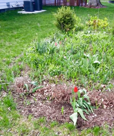 flowers tulip 1