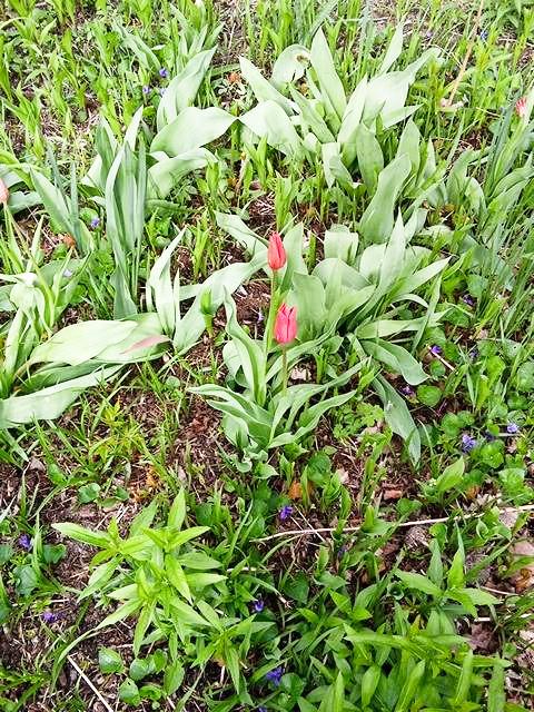 flowers tulip 2